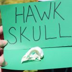 image of a hawk skull